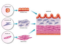 Intestinal wall cells. Medical illustration of the Intestinal wall cells Royalty Free Stock Photography