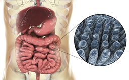 Intestinale anatomie en histologie stock illustratie