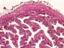Intestine animal tissue. Under microscope view. histology of intestine stock photo