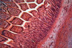 Intestine Cells under the Microscope. A section trough cells of a small intestine under the microscope royalty free stock images