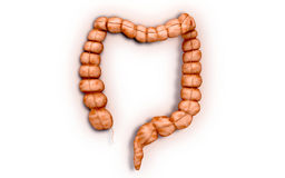 Intestine Royalty Free Stock Image