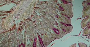 Intestine of the rat in cross section
