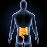 Intestine with Body Posterior view. The intestines are a long, continuous tube running from the stomach to the anus. Most absorption of nutrients and water Royalty Free Stock Photo