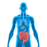 Intestines. Two or more organs working together in the execution of a specific body function form an organ system royalty free illustration
