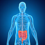 intestini Fotografia Stock Libera da Diritti