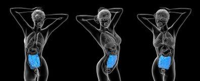 Intestino delgado humano Fotos de Stock Royalty Free