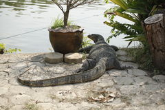 InThailand hermoso del lagarto de monitor Foto de archivo