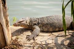 InThailand hermoso del lagarto de monitor Imagen de archivo libre de regalías