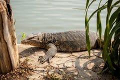 InThailand hermoso del lagarto de monitor Foto de archivo libre de regalías