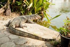InThailand hermoso del lagarto de monitor Imagenes de archivo