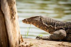 InThailand hermoso del lagarto de monitor Fotos de archivo