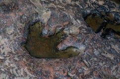 InThailand real de la huella del dinosaurio Imagenes de archivo