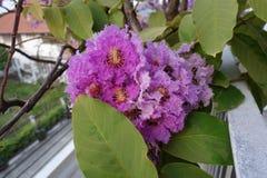 Inthanin blommor eller drottningkräppmyrten arkivfoto