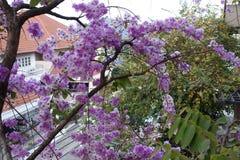 Inthanin blommor eller drottningkräppmyrten royaltyfri foto