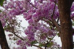 Inthanin blommor eller drottningkräppmyrten fotografering för bildbyråer