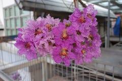 Inthanin blommor eller drottningkräppmyrten arkivbild