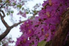 Inthanin blommor eller drottningkräppmyrten arkivbilder