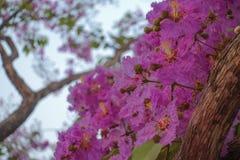 Inthanin blommor eller drottningkräppmyrten royaltyfri fotografi