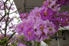 Inthanin blommor eller drottningkräppmyrten, Lagerstroemiamacrocarpavägg Arkivfoto