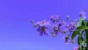Inthanin-Blume Stockfoto