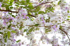 Inthanin flowers or Queen crape myrtle Royalty Free Stock Photo