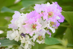 Inthanin flowers or Queen crape myrtle Royalty Free Stock Image