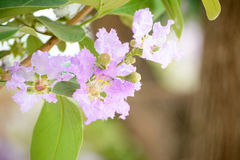 Inthanin flowers or Queen crape myrtle Royalty Free Stock Photos
