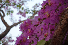 Inthanin flowers or Queen crape myrtle Stock Images