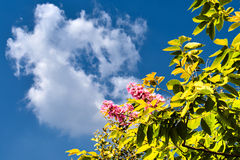 Inthanin green leaves, pink flowers and sky clouds. Inthanin green leaves, pink flowers and sky clouds Stock Image