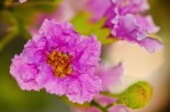 Inthanin kwiat w naturze Obrazy Stock