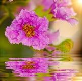 Inthanin kwiat w naturze Fotografia Royalty Free