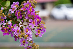 Inthanin or Lagerstroemia royalty free stock photography