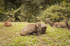 InThong Pha Phum dos cervos do Sambar imagens de stock royalty free