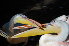 Intimacy Between Pelicans Royalty Free Stock Photos