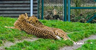 Intimate cheetah couple laying together in the grass, popular zoo animals, vulnerable animal specie from Africa stock photo