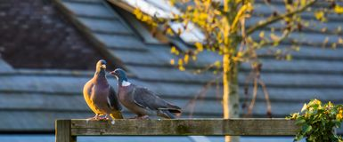Intimate couple of common wood pigeons sitting close together, common birds of europe stock photo