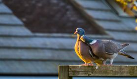 Intimate couple of common wood pigeons together, bird breeding season in spring, common birds of europe. A intimate couple of common wood pigeons together, bird stock image