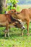 Intimate cow with love. Intimate cow isolated green paddy field Stock Images