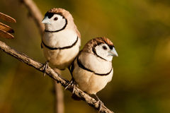 Intimate Finches Stock Image