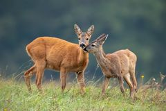 Free Intimate Moment Between Mother Roe Deer Doe And Fawn Royalty Free Stock Photo - 142869135