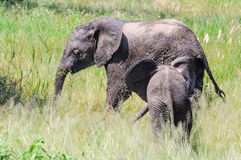 Intimate moment of elephants in Tarangire Park, Tanzania Royalty Free Stock Image