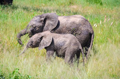 Intimate moment of elephants in Tarangire Park, Tanzania Stock Photos