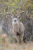 Intimate photograph of nontypical whitetail buck in rut Royalty Free Stock Photography