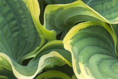 An intimate view of Green and yellow Variegated Hosta leaves in royalty free stock images