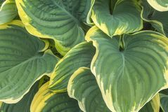 An intimate view of Green and yellow Variegated Hosta leaves in stock images