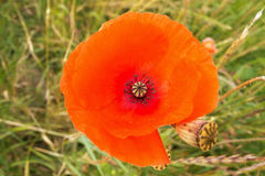 Intimate view into a poppy. Selective focus on the flower Royalty Free Stock Photo