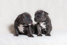 Intimidações do americano do cachorrinho Imagem de Stock Royalty Free
