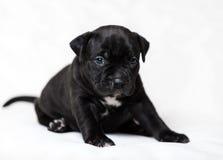 Intimidações do americano do cachorrinho Foto de Stock Royalty Free