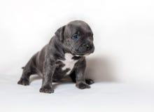 Intimidações do americano do cachorrinho Fotos de Stock Royalty Free