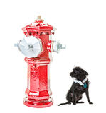 Intimidation. A very small dog intimidated by a very big fire hydrant. Isolated.  Hdr.  Clipping path for fire hydrant Royalty Free Stock Photo